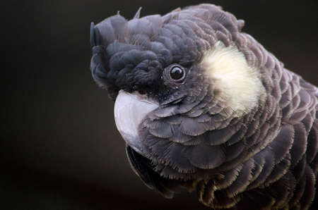 yellow tailed: this is a close up of a yellow tailed black cockatoo