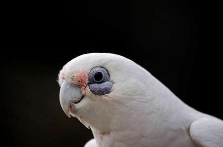 beak: this is a close up of a short beak corella