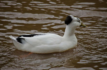 crested duck: the crested duck is swimming in a pond Stock Photo
