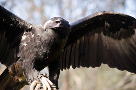 wedge: this is a close up of a wedge tailed eagle