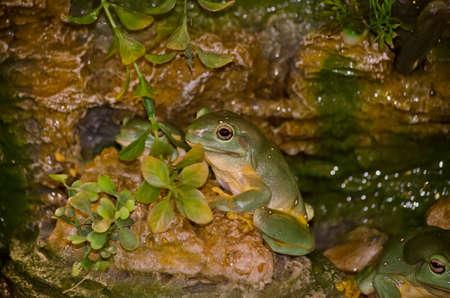 green tree frog: the green tree frog is climbing rocks