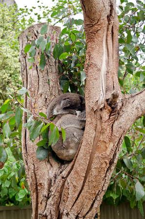 joey: the joey koala is sleeping on its mothers head