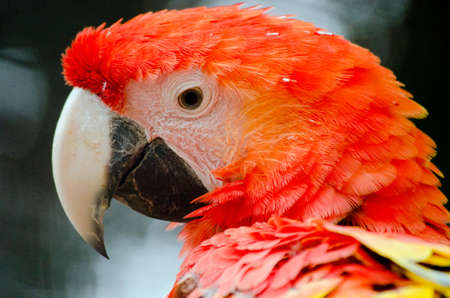 scarlet: this is a close up of a scarlet  macaw