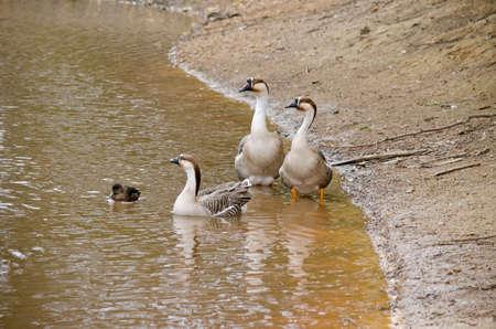 pozo de agua: los tres gansos canadienses en el borde de un pozo de agua