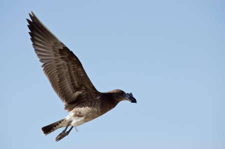 juvenile: the juvenile pacific gull is flying high in the clear blue sky