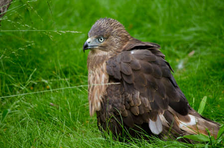 animal kite: this is a close up of a whistling kite Stock Photo