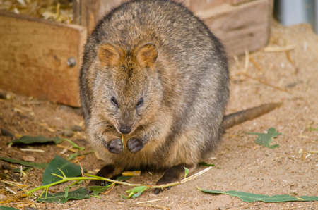 marsupial: the Australian quokka is eating a leaf Stock Photo