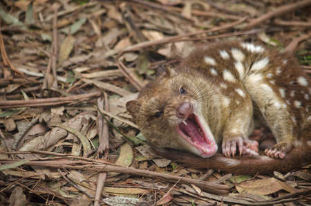 snarling: the spotted quoll is snarling with teeth beared