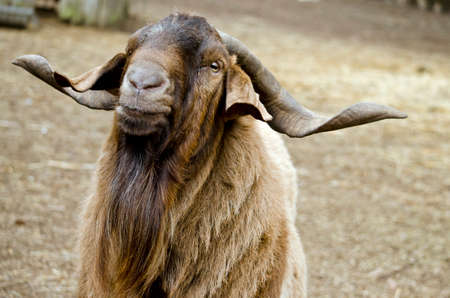 billy: this is a close of a billy goat Stock Photo