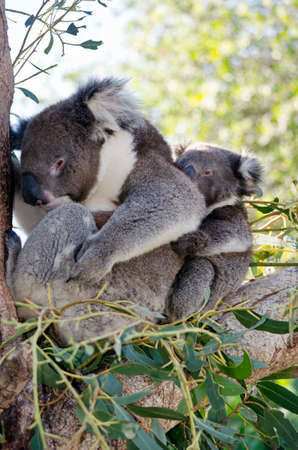 joey: the koala and her joey are resting in the fork of a tree