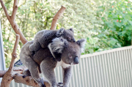 joey: the joey koala is riding on his mothers back Stock Photo