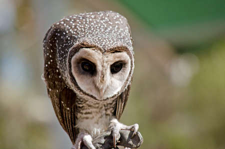 sooty: this is a close up of a masked owl Stock Photo