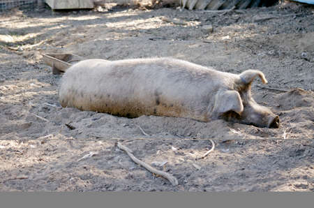 porker: the pig is resting in the farm yard Stock Photo