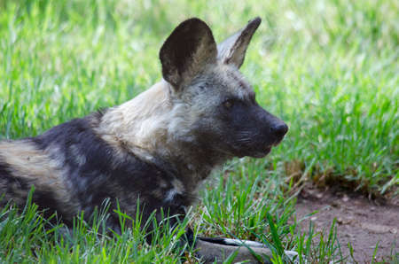 african wild dog: this is a close up of a African wild dog Stock Photo