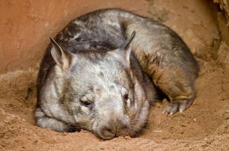 wombat: el wombat olfateado peludo est� descansando en un poco de sombra Foto de archivo