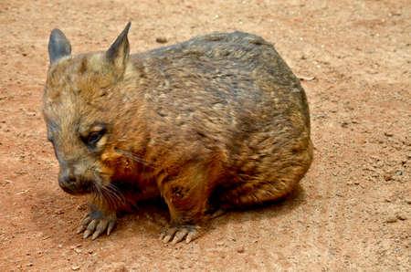 wombat: Primer plano de un wombat común Foto de archivo