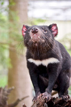 vicious: this is a close up of  a tasmanian devil