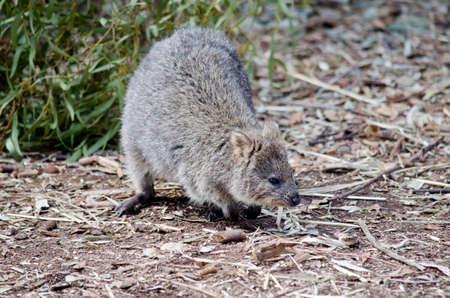 marsupial: Close up of a quokka