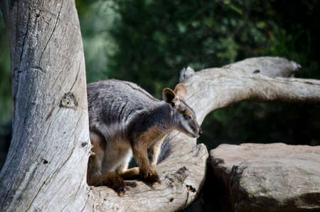 yellow tailed: the yellow tailed rock wallaby is on a branch of a tree Stock Photo