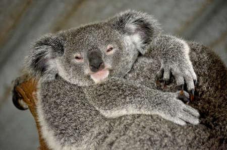 joey: Close up of a joey koala