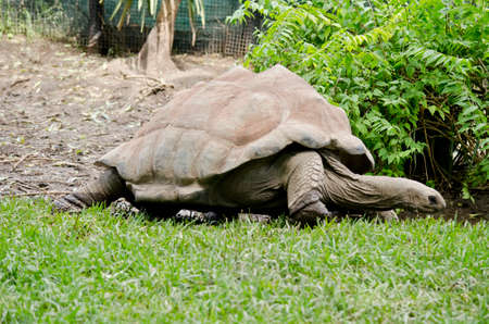 cold blooded: Close up of a giant tortoise Stock Photo