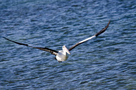 blue waters: the pelican is soaring over the blue waters Stock Photo