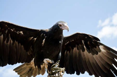 wedge: the wedge tailed eagle is ready to soar Stock Photo