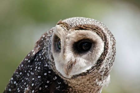 sooty: this is a close up of a sooty owl Stock Photo