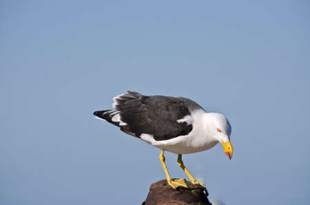 perched: the pacific gull is perched and looking down Stock Photo