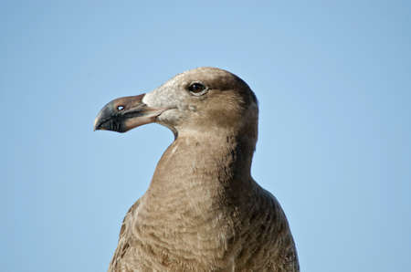 juveniles: this is a close up of a young pacific gull Stock Photo