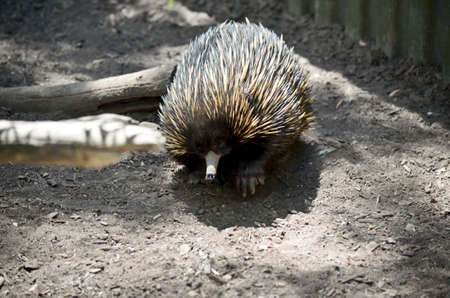 echidna: the echidna is looking for ants to eat Stock Photo