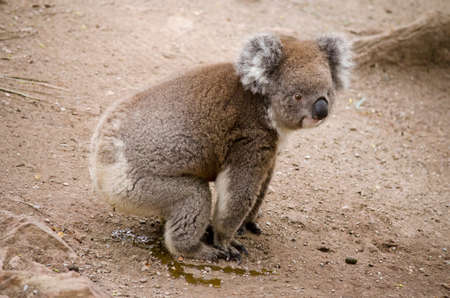 relieved: the koala has just relieved himself on the ground