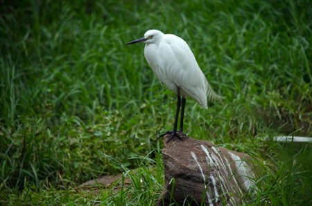 black plumage: the little egret is standing on a rock
