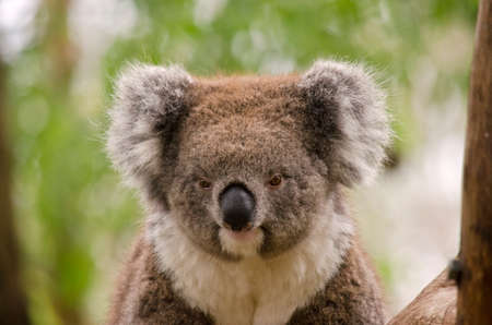 marsupial: this is a close up of a koala