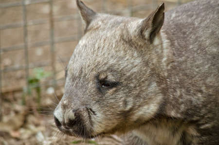 nosed: this is a close up of a common wombat Stock Photo