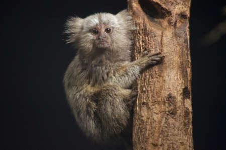 marmoset: the baby common marmoset is climbing a tree Stock Photo