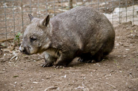 wombat: this is a side view of a common wombat Foto de archivo