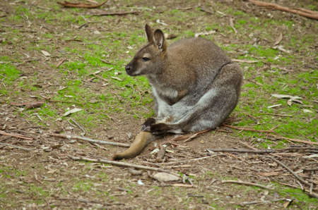 necked: the red necked wallaby is sitting on the grass