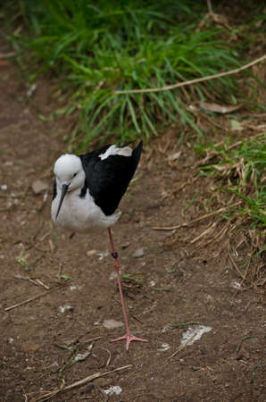 black winged stilt: the black winged stilt is walking in the dirt