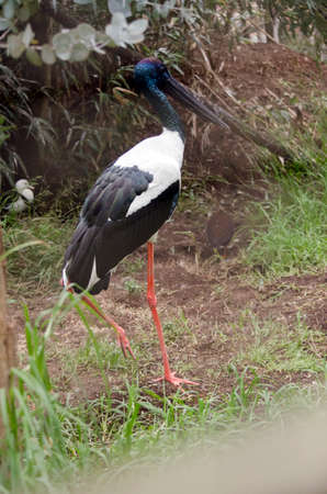 the blue faced stork is walking through the grass Stock Photo