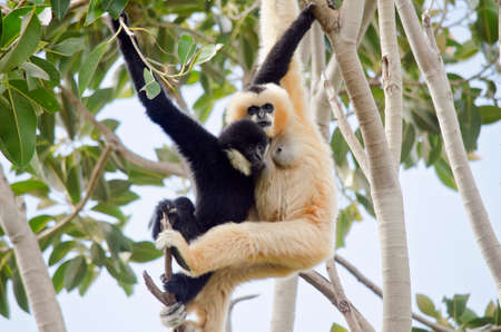 faced: the white faced gibbon is feeding her baby boy