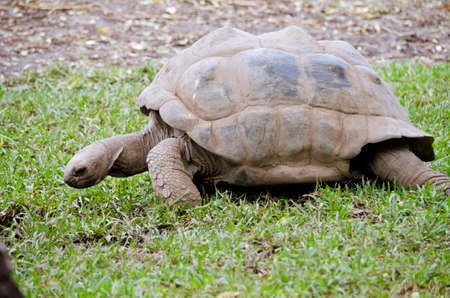 blooded: the giant tortoise is walking across a lawn