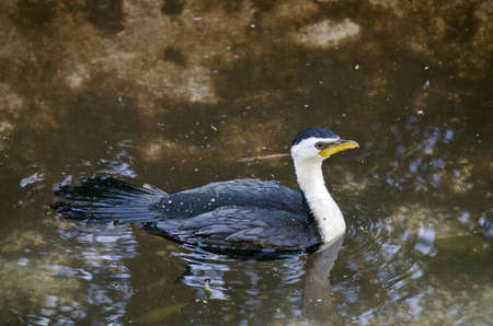 pied: the pied cormorant is swimming in the pond