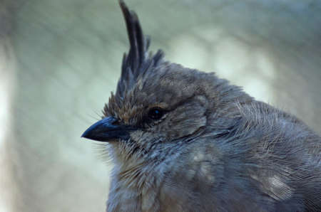 chiming: this is a close up of a chiming wedgebill Stock Photo
