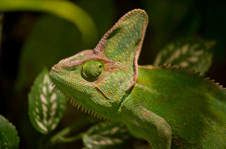 veiled: this is a close up of a chameleon