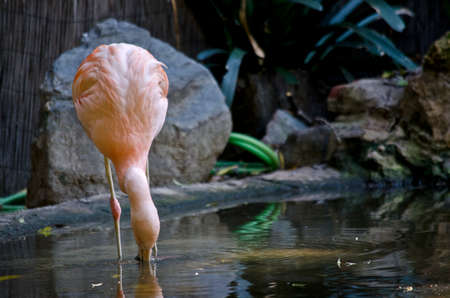 the flamingo is drinking water  from a pond