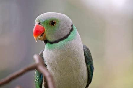 periquito: this is a close up of malabar parakeet Foto de archivo