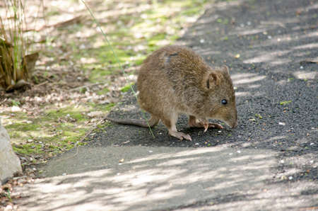 nosed: the long nosed potoroo is on a path way