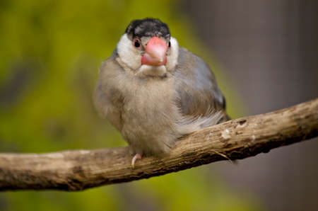this is a close up of a java sparrow