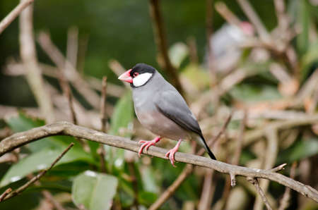 the java sparrow is in the bushes